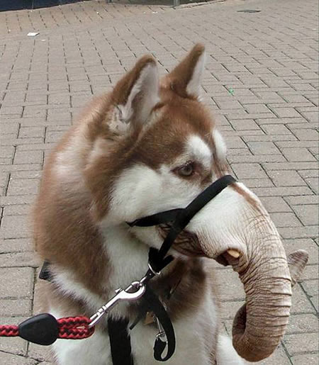 Слоно-пёс