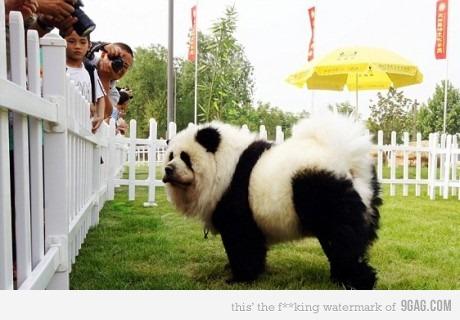 Я панда!