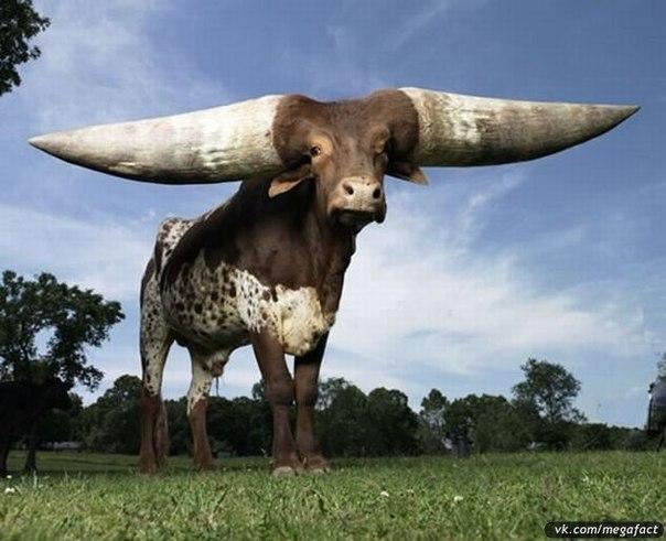 Самые большие рога