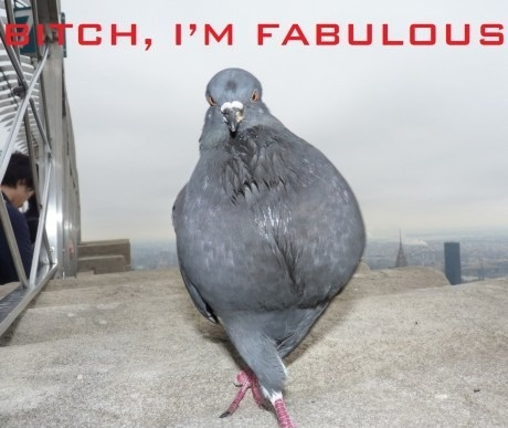 Крутой голубь