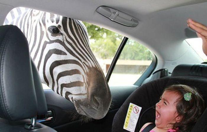 Стрёмная зебра