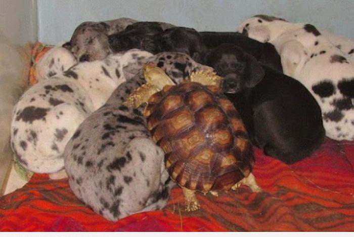 Черепаха типа собака