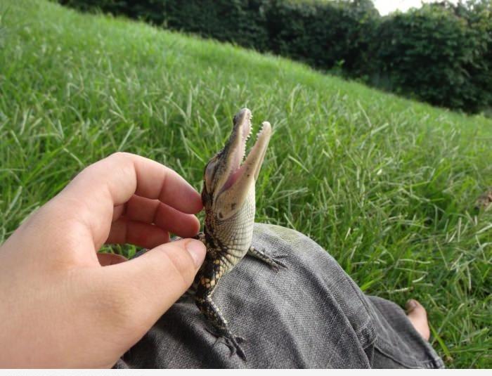 Гладим крокодильчика
