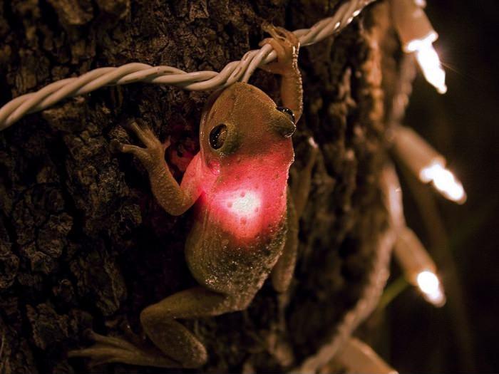Лягушка съела фонарик