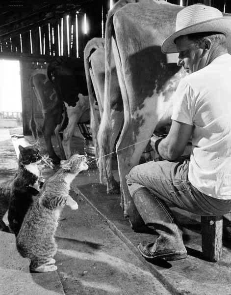 Кошки хотят молока
