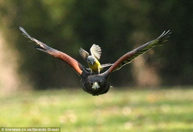 Смелая птичка