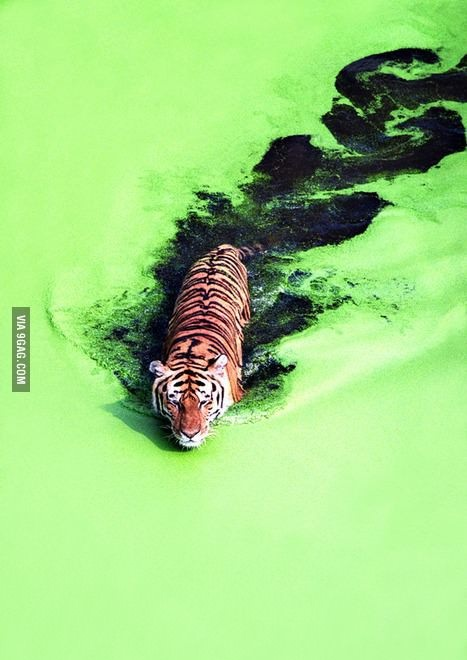 Тигр в стоячей воде