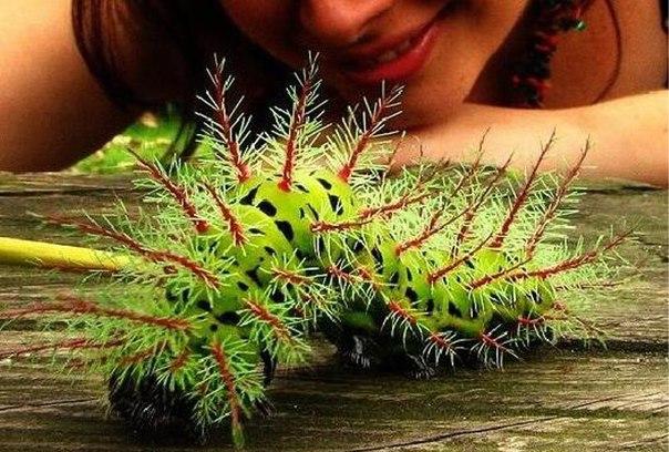 Ядовитая гусеница из Бразилии