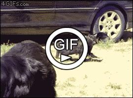 Собаки прервали бой кошек