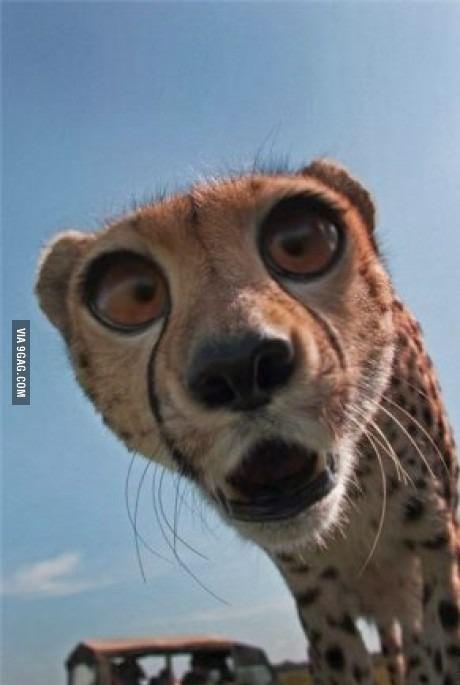 Гепард интересуется