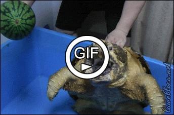 Хищная черепаха