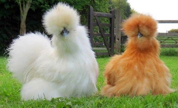 Две китайские шелковые курицы