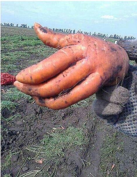 Здравствуйте, я — морковь