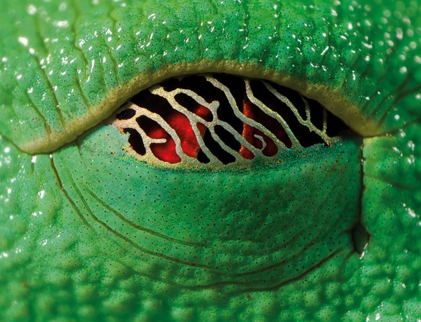 Глаз древесной лягушки