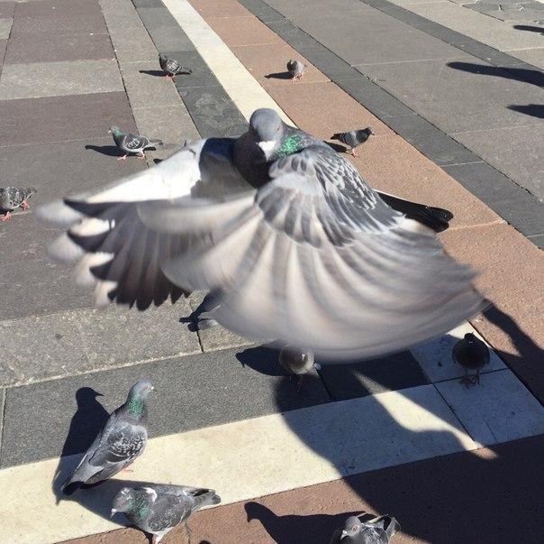 Фотогеничный голубь