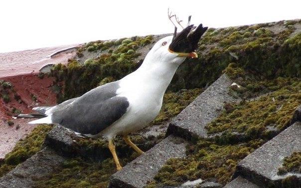 Голодная чайка